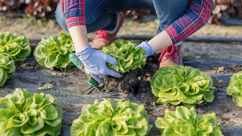 How to grow lettuce?