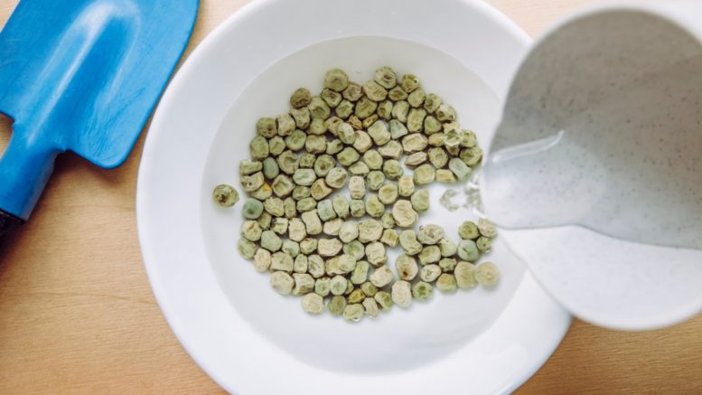 Why seeds are soaked in the water before sowing